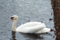 2月 ドイツ 池 白鳥