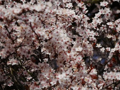 3月 ドイツ 春 桜 鳥 花