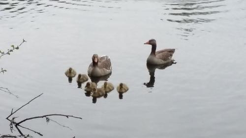 4月 ドイツ 水鳥親子