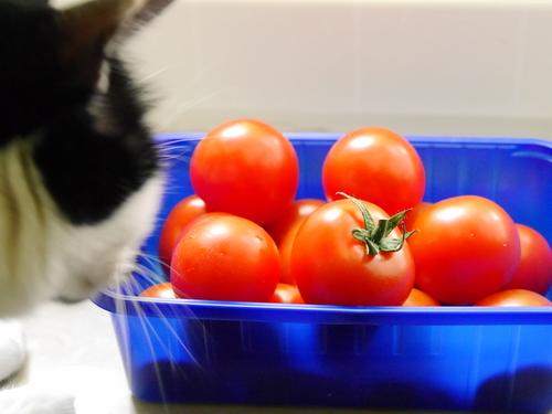 2017年6月 ドイツ 猫 トマト
